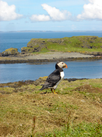 Puffin at Treshnish Isles